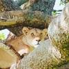 【マサイマラ】ライオンの捕食シーンに遭遇!