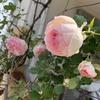 憧れのロザリアン お庭にバラを