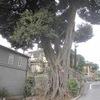 街歩きと巨樹
