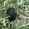 ベビーリーフ以外の栽培