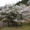 樽見の仙桜2016