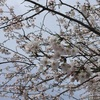 新川沿いの桜と野の花