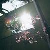 近所の桜っぽいやつ。