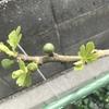 イチジク 新芽と葉