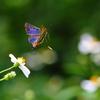 南山渓の蝶たち  - タイワンタイマイほか -