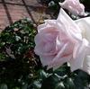 浜寺公園のバラ庭園がいいかんじで咲いてた!2020年5月【大阪府堺市西区】