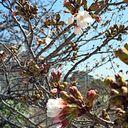 神戸サクラ通信その5「新神戸の布引橋とこも咲き出しましたよ」