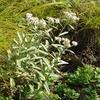 ヤハズハハコ 白岩岩峰は天空のお花畑