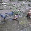大岡川冬の鳥のトピックス3