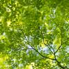 新緑のヤマモミジ:寺家公園