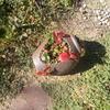 イチゴと多肉の寄せ植えとキジバト