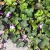 ツタバウンランの花と満開の福寿草