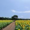 済州島(チェジュ島)7月のおすすめスポット #アジサイ #ヒマワリ #コスモス #コンサート