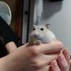 ハムスターのおやつは乾燥豆腐がオススメ!