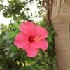 【沖縄】2021・ハイビスカスコレクション・今年も月桃の季節がやってきた