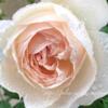 【庭】雨とバラ