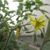トマトの花も咲きました