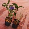 山野草 紫陽花とショダイ草の寄せ植え体験