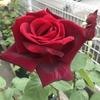 赤いバラ「パパメイアン」はダマスクモダンの濃厚な香りが素晴らしい