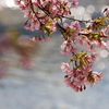 堂尻川の河津桜