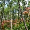 春ゼミと山つつじ溢れる日本二百名山『浅間隠山』へ