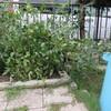 トマトの再生力に感激