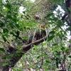 ヘツカラン 巨木の上で静かに咲く