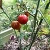 プランター菜園、ミニトマト収穫