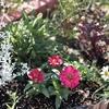 花壇に花を植えてから一週間(秋の花壇)