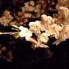 桜は日本のタマシイだ