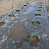 トウモロコシの追加植え付け