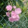 ピンクの一重薔薇「デンティーベス」との思いがけない出逢い  in  みたけ