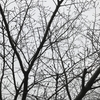 桜と梅の開花状況2017  我が家の樹木定点観察〈京都府南部〉 Blooming status of cherry & ume blossoms at my house garden, Southern part of Kyoto prefecture  Date: Mar. 23, 2017