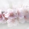 桜吹雪と花粉症
