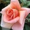 """【庭】Rosa.min """" Mocafe Rose """""""