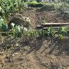 農園日誌20180826 第一農園の秋野菜作りの準備を行いました
