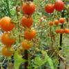 植物  トマトとミカンの今日