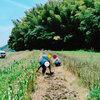 にんにく収穫作業