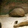 マタコミツオビアルマジロTolypeutes matacus