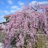 Breathe  469    駄菓子屋の桜