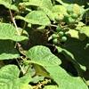 ヤマブドウの実