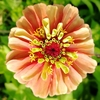 いつもと違う夏の庭☆国華園さんのフラワーミックス種から咲いたお花たち