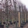 イギリス滞在日記7日目(2019/1/19):植木を見に行った、マジェスティックツリー