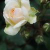 春バラの季節と置き配