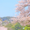 鎌倉・鶴岡八幡宮の桜