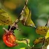 柿の木と野鳥 ヽ(*´∀`)ノ