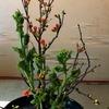 木瓜(ぼけ)・菜の花