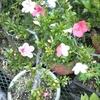 サツキが開花・・・。