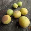 梅の実 そんな気配 Plum fruit