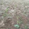 麦畑の様子  12月15日